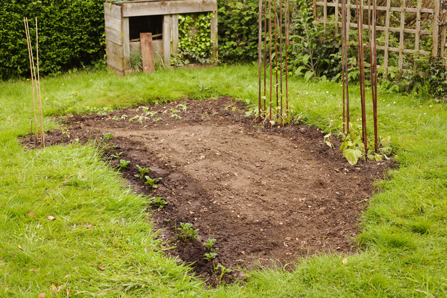 View from the end of the veg plot with potatoes on the left and runner beans on the right