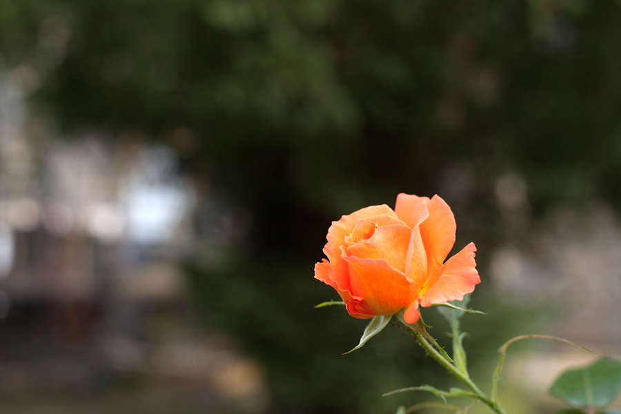 Rose in the churchyard