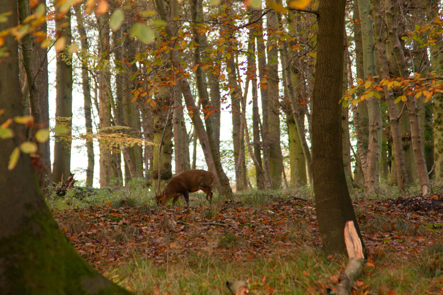 Muntjac deer in the trees
