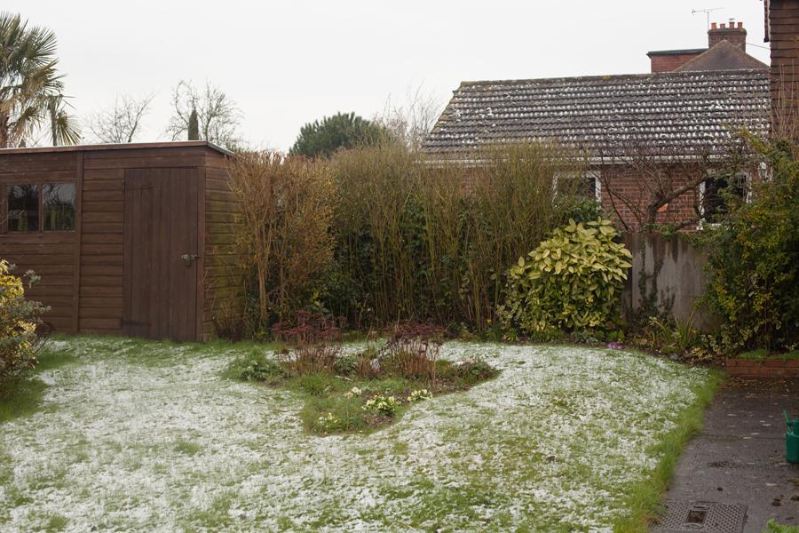 Primroses in the snow