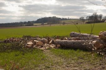 The fallen cedar tree