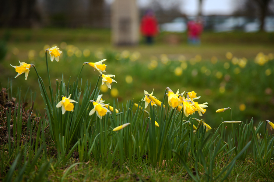 The welcome sight of spring daffodils