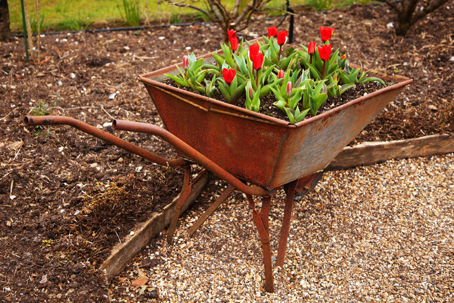 Tulips in an old barrow