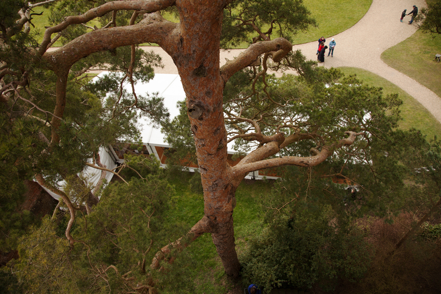 Looking down the Scots Pine beside the tower