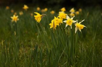 Last of the daffodils