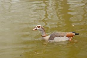 Unidentified duck