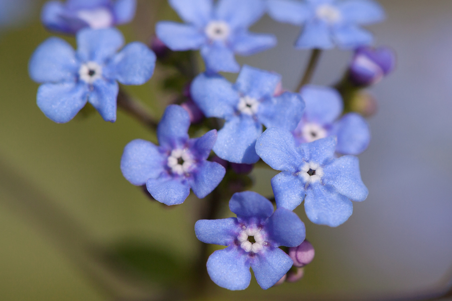 Delicate forget-me-nots