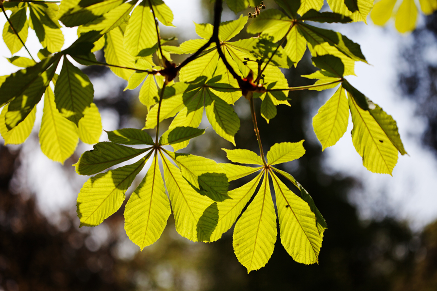 Chestnut leaves in the sunshine
