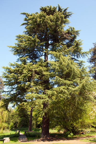 A cedar near the water