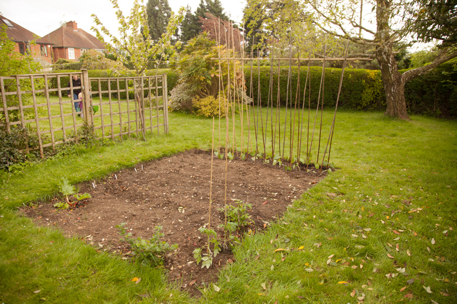 Veg plot with newly planted runner beans and tomatoes