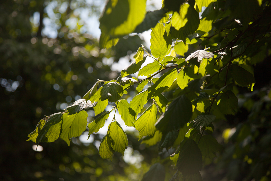 Dappled leaves in the sunshine