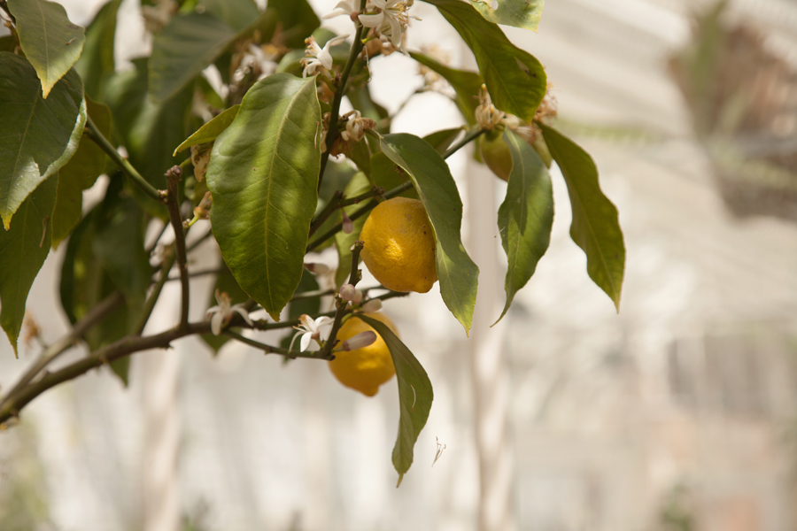 Lemons in the greenhouse