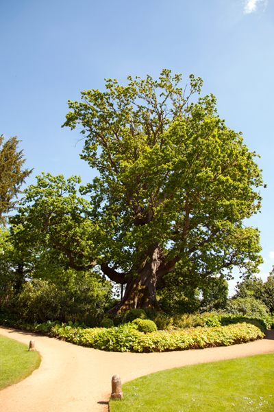 A six hundred year old oak tree
