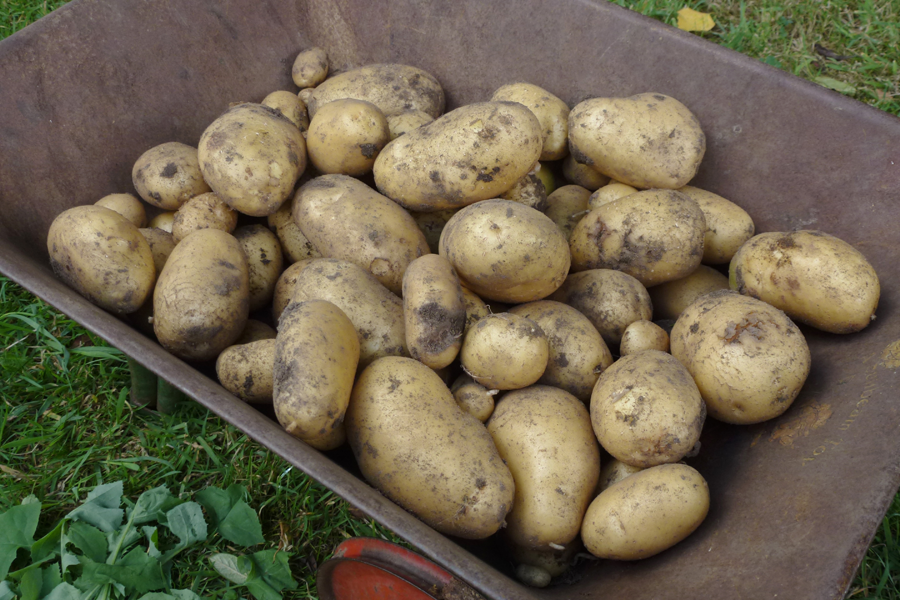 A good crop of potatoes